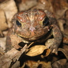 American Toad Jigsaw Puzzle Online Puzzle game