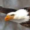 Bald Eagle Jigsaw Puzzle Online Puzzle game