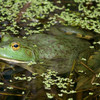 Bullfrog Jigsaw Puzzle Online Puzzle game