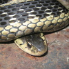 Common Garter Snake Jigsaw Puzzle Online Puzzle game