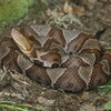 Copperhead Jigsaw Puzzle Online Puzzle game