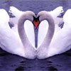 FTA Swans Online Puzzle game