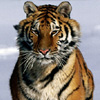 FTA Tigers Online Puzzle game