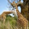 Giraffes 1 Puzzle Online Miscellaneous game
