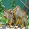 Monkeys 1 Puzzle Online Puzzle game