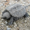 Snapping Turtle Jigsaw Puzzle Online Puzzle game