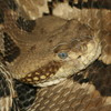 Timber Rattlesnake Jigsaw Puzzle Online Puzzle game