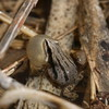 Western Chorus Frog Jigsaw Puzzle Online Puzzle game